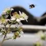 Hummel sammelt Honig Brombeere