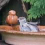 Sperling und Rotschwänzchen beim Vogelbad
